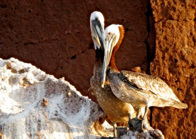 Pelican - Photo: Leslie Robins