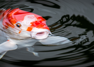 The Story of the Koi Fish