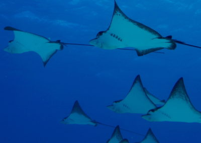 Manta Rays in the Seal of Cortez - Divers Inn MX